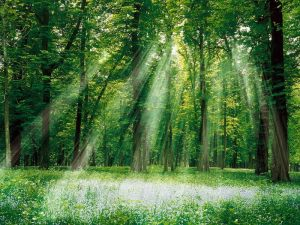 Sun-Light-through-the-Forest-Trees-800x600-wide-wallpapers.net